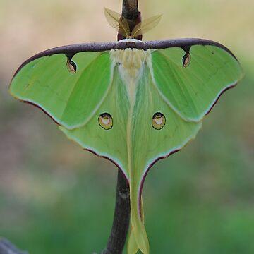 Luna Moth by CjbPhotography
