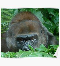 Watchful Gorilla Poster