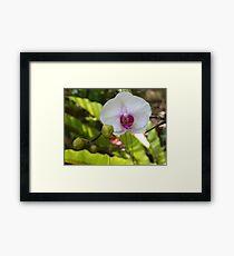 Summer Orchid  Framed Print