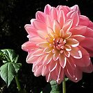 Beauty in Pink - one of my favorite dahlias by bubblehex08