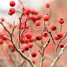 Winter Kwanzaa cherries..... by Poete100