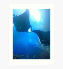 A pair of rays (manta rays) Art Print
