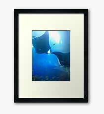 A pair of rays (manta rays) Framed Print