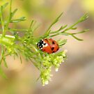 Ladybird by beerman70