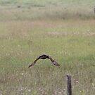 Great Grey Owl in Flight by Kathi Huff