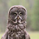 Great Grey Owl IV by Kathi Huff