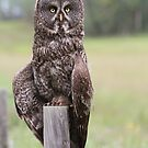 Great Grey Owl VI by Kathi Huff