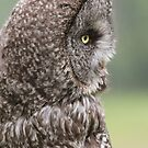 Great Grey Owl VII by Kathi Huff