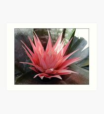 Pink Bromiliad Flower Art Print