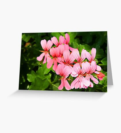Pink pelargonium Greeting Card