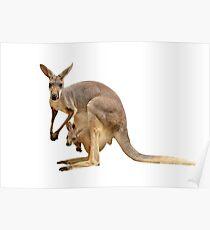 Kangaroo mom Poster