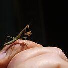Juvenile praying mantis by richeriley