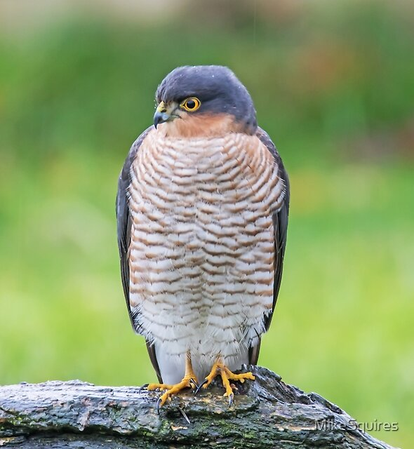 Sparrowhawk by MikeSquires