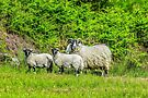 Sheep in the countryside, Argyll, Scotland by Beth A.  Richardson