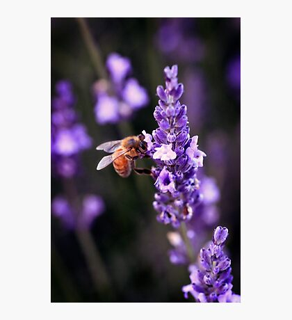 Fragrant Lavender Photographic Print
