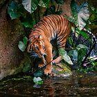 The tiger by Froggie