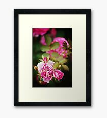 Nature background with rose flower Framed Print