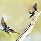 Swallows at Lake Claremont by nadine henley