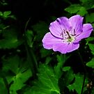 Wild Geranium by BonnieToll