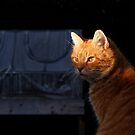 Ginger cat and evening sun by turniptowers