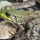 Green Frog by BonnieToll