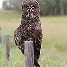 Great Grey Owl VIII by Kathi Huff