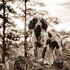 "Springer Spaniel ""Standing Proud"" by craig wilson"