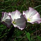 Field Bindweed by BonnieToll