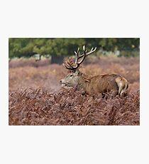 Red Deer stag (Cervus elaphus) among the bracken in autumn. Photographic Print