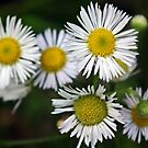 Wild Chrysanthemum  by BonnieToll