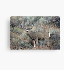 Utah mule deer buck Canvas Print