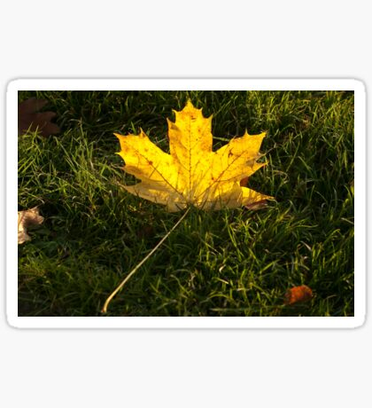 A fallen maple leaf in the sun Sticker
