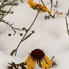 Blanket Flowers Blanketed by Kathi Huff