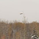 Last Hawk by Kathi Huff