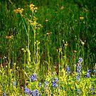 Texas Wildflowers by lostpineslife