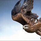 hawk by carol brandt