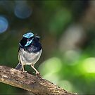 superb blue wren by carol brandt