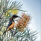 eastern spinebill by carol brandt
