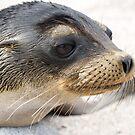 Sea lion closeup by Michael Stiso