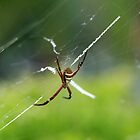 St Andrew's Cross Spider by rom01