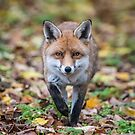 Red fox (Vulpes vulpes) by Stephen Liptrot