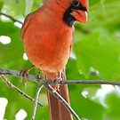 Northern Cardinal by lostpineslife