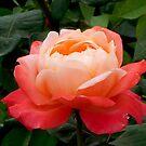 China Rose by Gail Mew