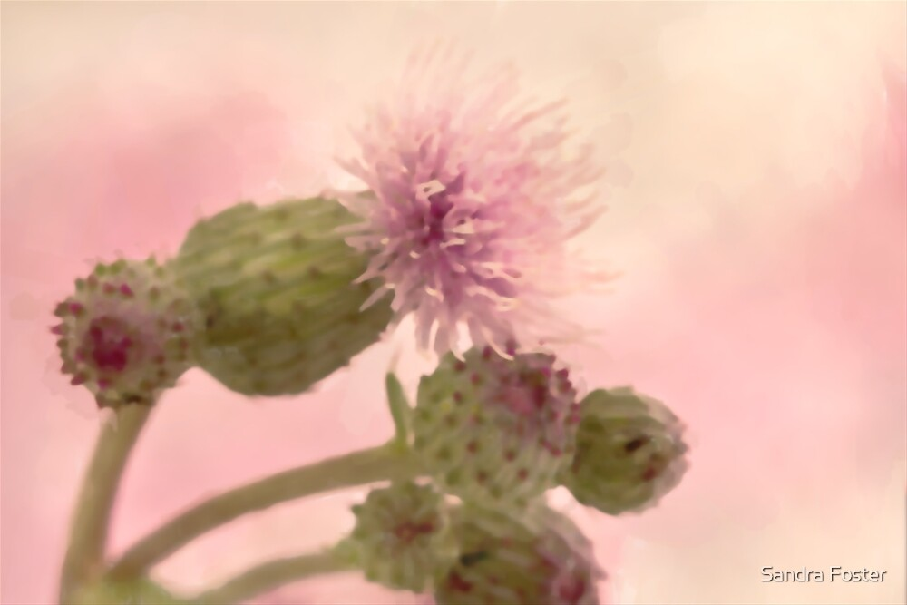 Canada Thistle - Digital Watercolor by Sandra Foster