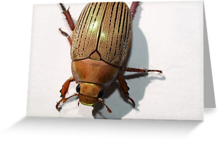 Christmas Beetle by Jason Dymock Photography