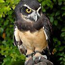Owl by Jason Pepe
