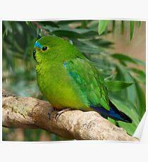 Orange-bellied Parrot 2 Poster