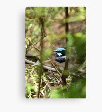 Superb Fairy Wren, South Australia Canvas Print