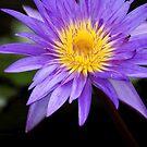 Purple Water Lilly Flower by Jason Pepe