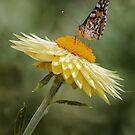 Butterfly by yolanda